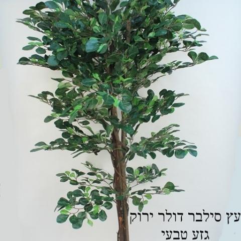 עץ סילבר דולר ירוק גזע טיבעי גובה - 1.90 מטר.