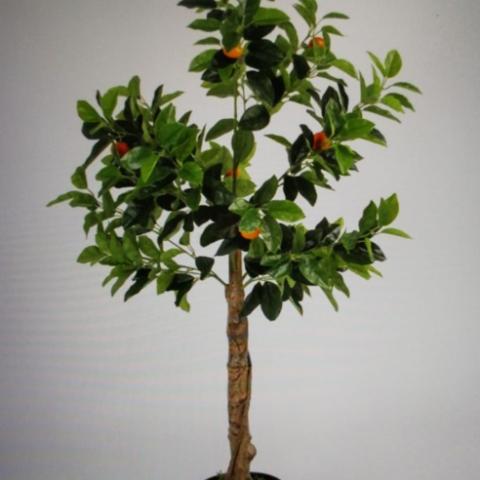 צמח תפוז ננסי  גזע טיבעי גובה - 1.30 מטר.