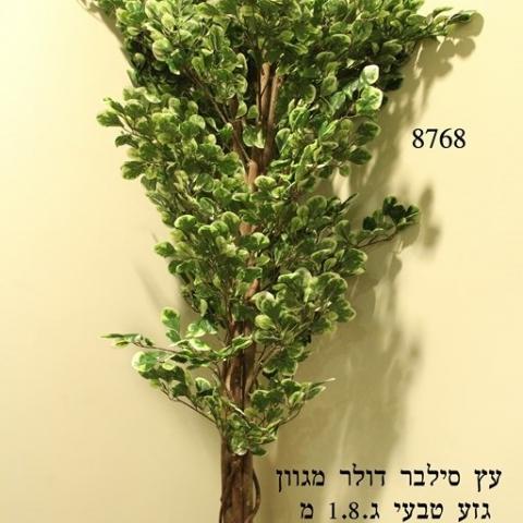עץ סילבר דולר מגוון גזע טיבעי גובה - 1.90 מטר.