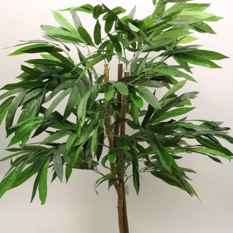 צמח פיקוס תאילנדי גזע טיבעי גובה 1.20 מטר.
