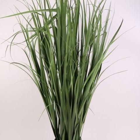 צמח בוס נחלים בעציץ גובה 1.20 ס