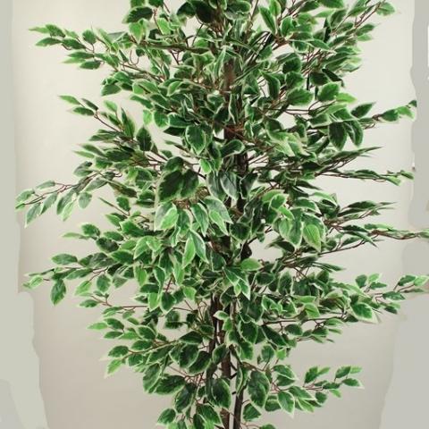 צמח פיקוס בנימינה גזע טיבעי 1344 עלים מגוון. גובה - 1.80 מטר.