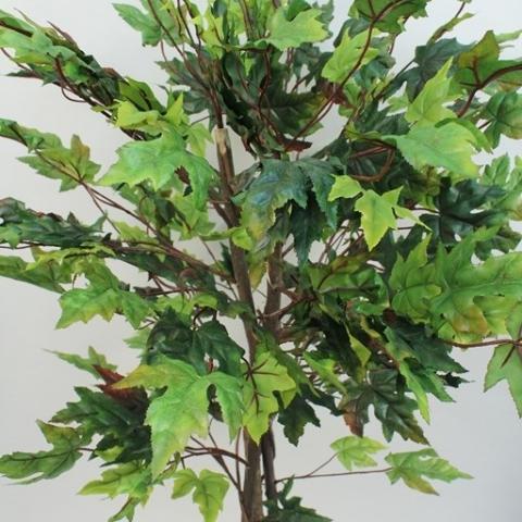 צמח מייפל ירוק גזע טיבעי גובה - 1.50 מטר