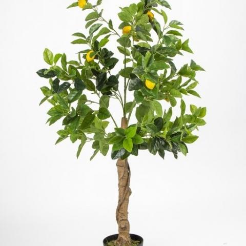 עץ לימון ננסי בעציץ. גובה - 1.30 מטר.