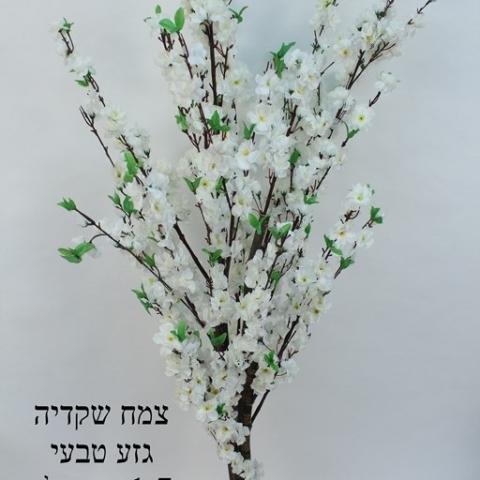 צמח שקדיה  גזע טיבעי צבע לבן גובה - 1.70 מטר.