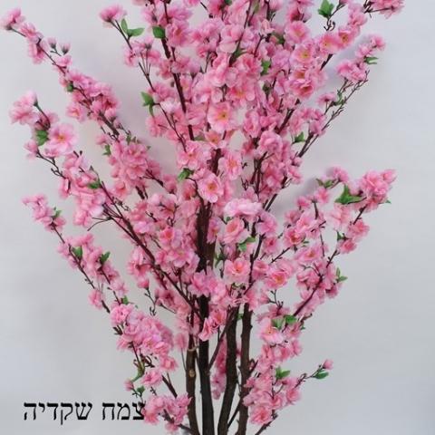 צמח שקדיה גזע טיבעי צבע ורוד גובה 1.70 ס