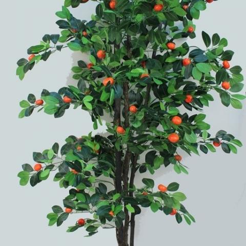 צמח קלמנטינה ננסי גובה - 1.80 מטר.