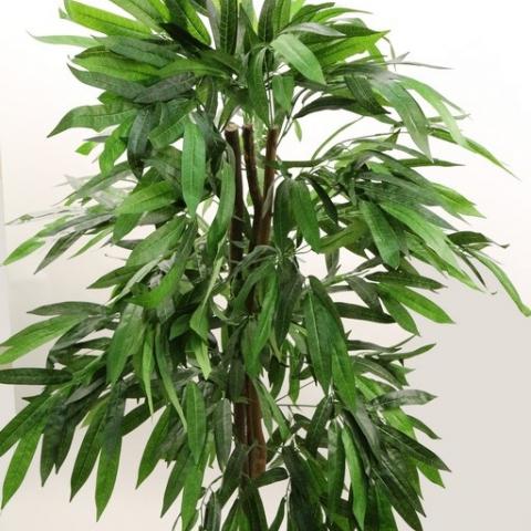צמח פיקוס תאילנדי גזע טבעי גובה 1.60 מטר.