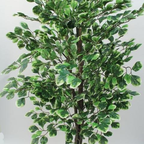צמח סילבר דולר מגוון עם גזע טיבעי גובה - 1.30 מטר.