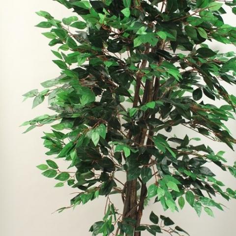 צמח פיקוס בנימינה גזע טיבעי. 1344 עלים. גוון ירוק. גובה - 1.80 מטר.